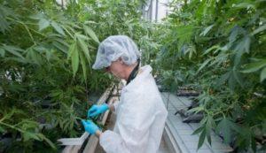 Закон о легализации выращивании канабиса в россии 2020